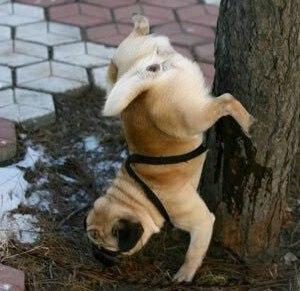 pug-stunt-pisser.jpg