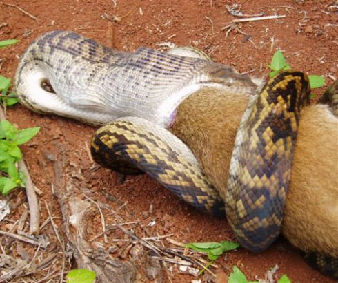 big-snake-eats-kangaroo.jpg