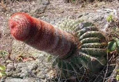 cactuspenis.jpg