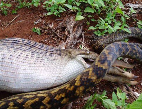 huge-snake-eats-kangaroo.jpg