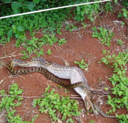 kangaroo-inside-snake.jpg