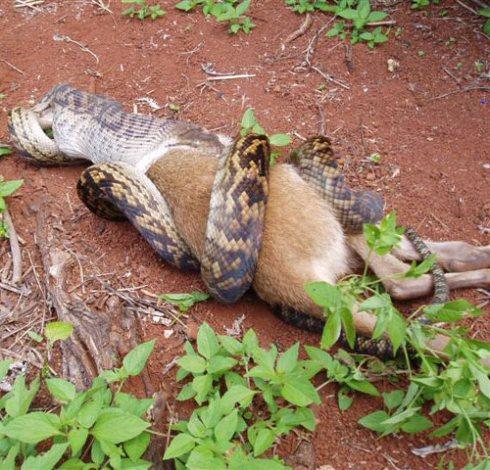 snake-eats-kangaroo.jpg